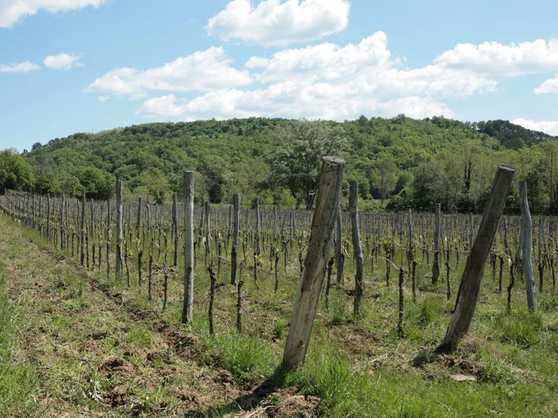 Vinograd obitelji Prelac
